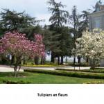 Tulipiers fleuris