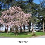 tulipier fleuri